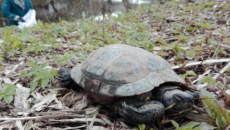 Pavasara talkā Mūkusalā sakopj teritoriju un atrod bruņurupuci