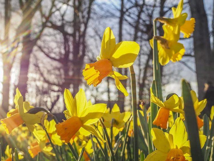 Ozolaines parks tiks atklāts ar dzelteno narcišu stādīšanas talku